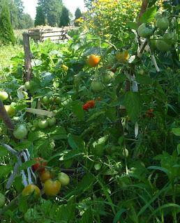 hodowanie pomidorów