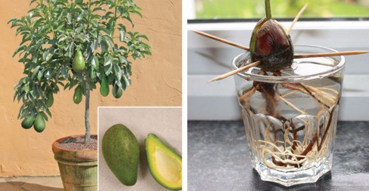 Stop Buying Avocados, You Can Grow Them In A Small Pot At Home