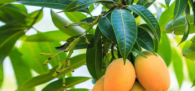 7-Extraordinary-Health-Benefits-of-mango-leaves