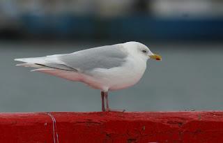 Kumlien's Gull, very white wings- St.John's