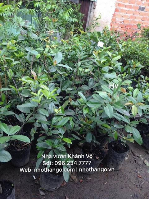 Cây cherry có dễ trồng ở Việt Nam không?