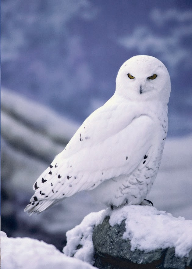 snowy owls pictures-1