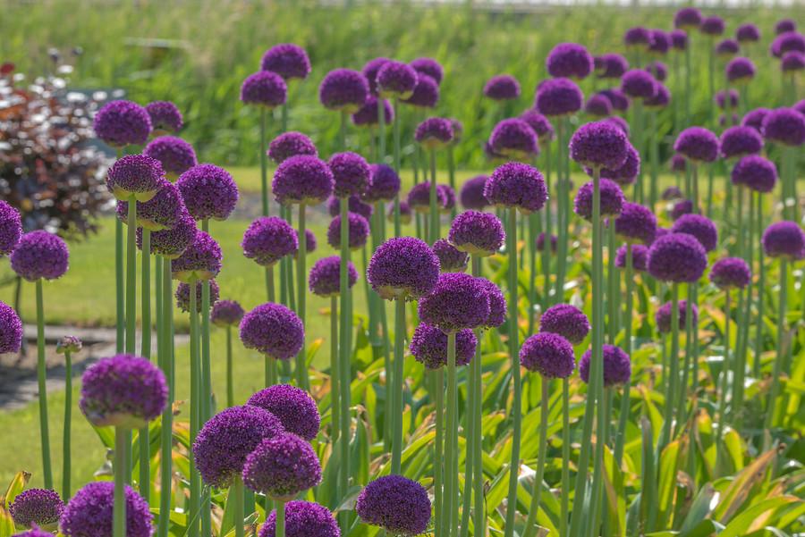 Flores grandes de cebolla de color púrpura