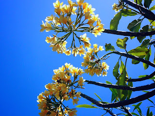 Yellow White Frangipani Flowers And The Sky Bali Indonesia
