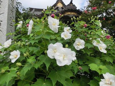 妙隆寺のフヨウ