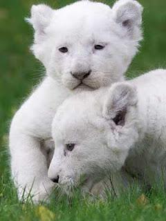 Gambar Anak Singa Putih