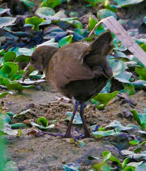 Birds of India - Zapornia akool