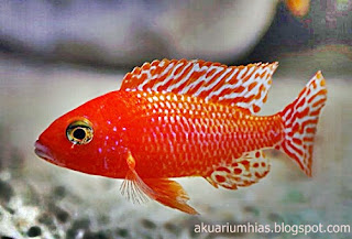ikan hias red peacock cichlid