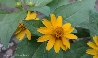 Bunga matahari kecil