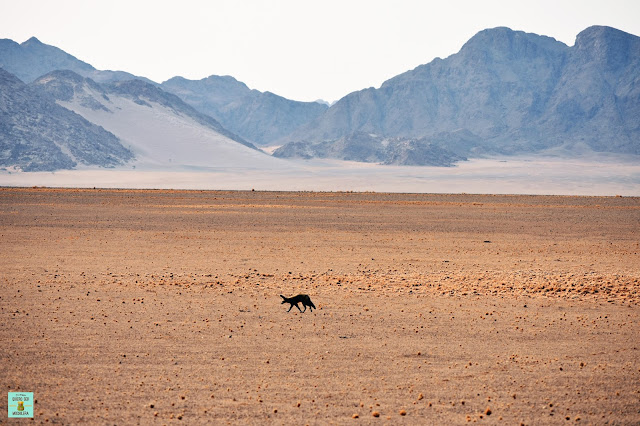 Bat Eared Fox en Namib-Naukluft, Namibia
