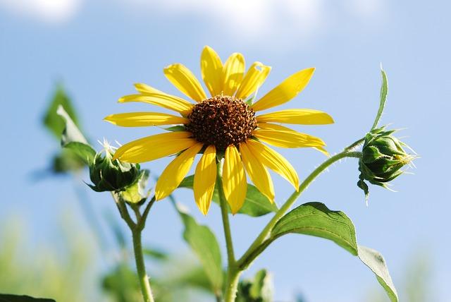 Hình ảnh bông hoa, cách đồng hoa Dã Quỳ đẹp ngỡ ngàng