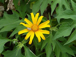 Tithonia diversifolia - Tournesol mexicain - Fleur fête des mères