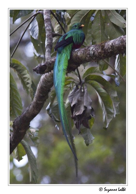 Des oiseaux sur ma route le quetzal resplendissant le for Oiseau longue queue ventre jaune