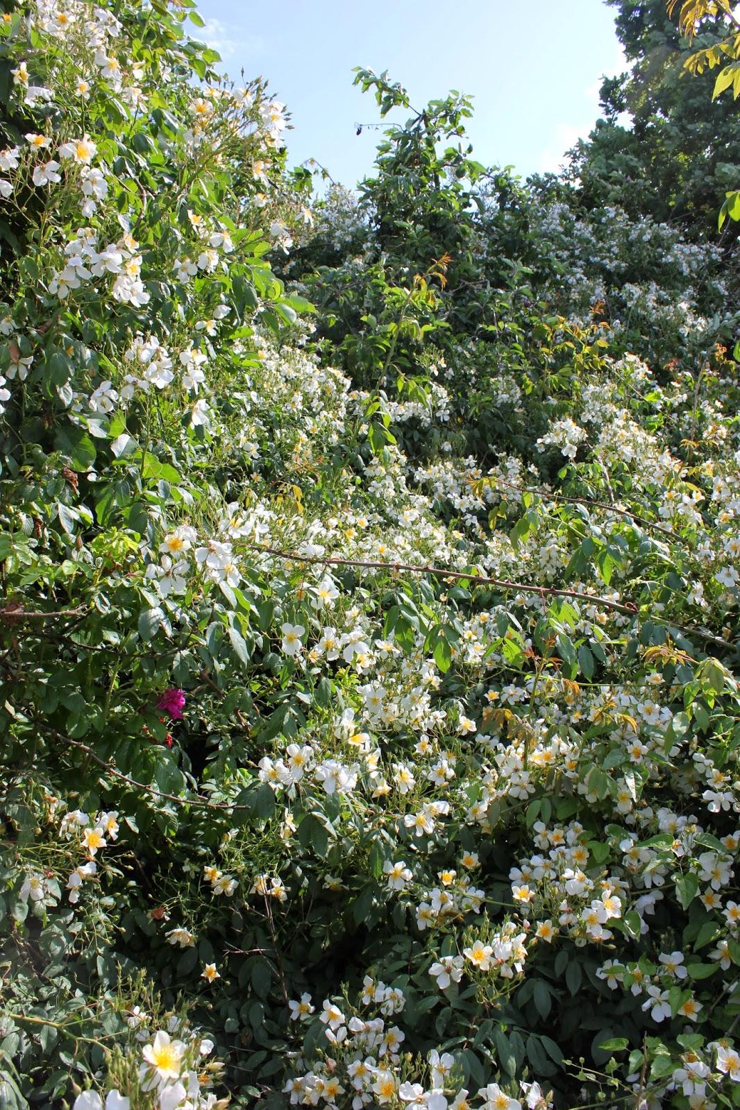 rosa filipes 'Kiftsgate'