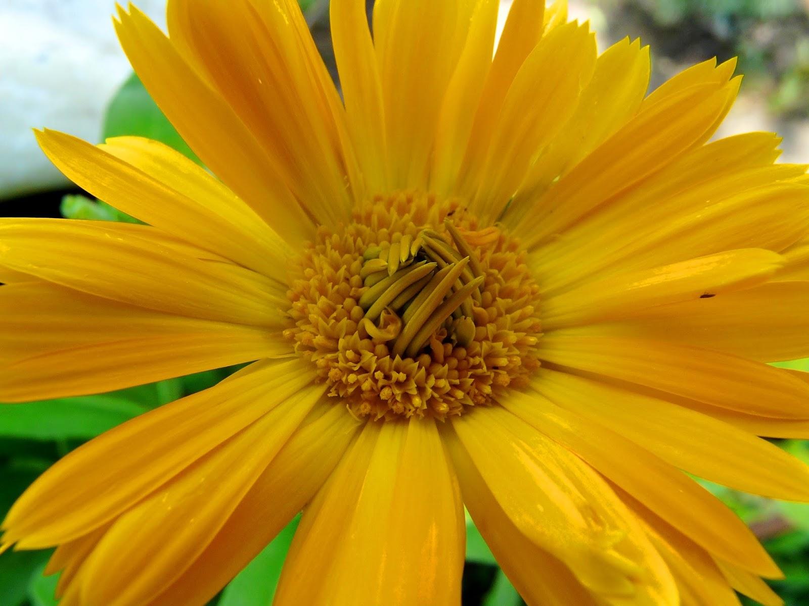 Calendula. Useful properties of yellow flowers 4