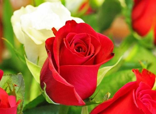 Bunga Papan Di Surabaya Jenis Jenis Bunga Mawar Terindah Di Dunia