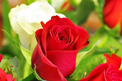 76 Model Gambar Bunga Mawar Paling Indah Di Dunia Paling Modern