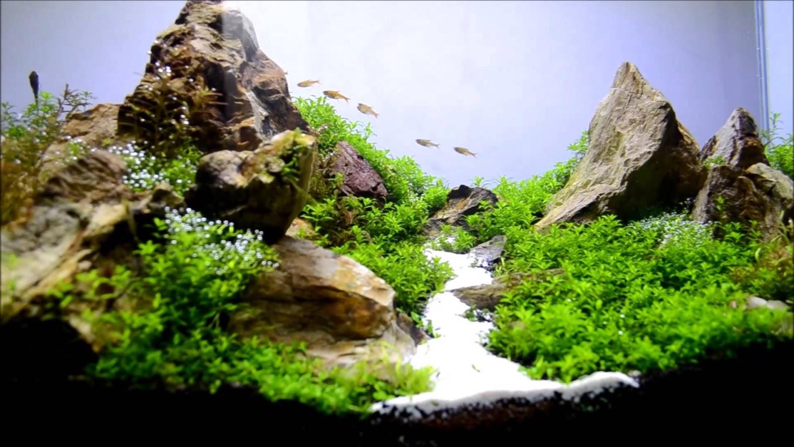 Cây trân châu cao 3 lá được tỉa ngắn trong hồ thủy sinh này