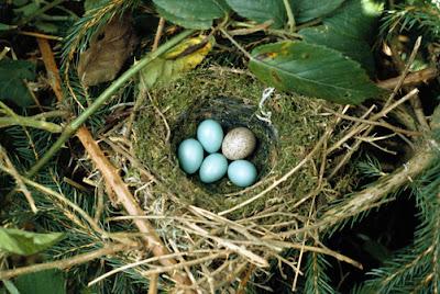 başka yuvaya yumurta, kuluçka asalağı