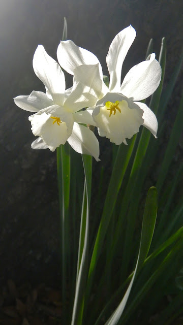 Backlit white daffodils