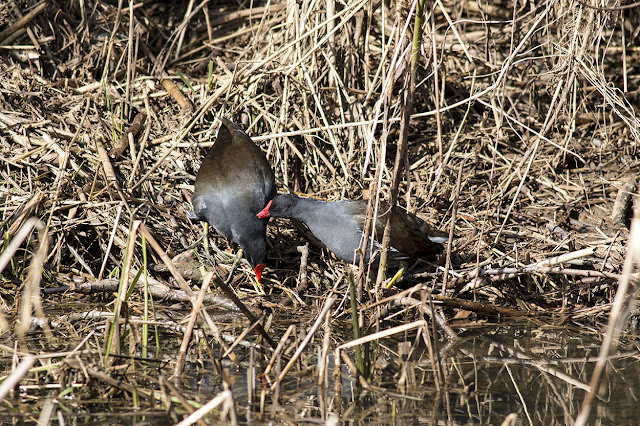Moorhens preening each other ready for a romantic evening?