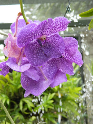 Vanda coerulea Blue Vanda at Orchid World Barbados by garden muses-not another Toronto gardening blog