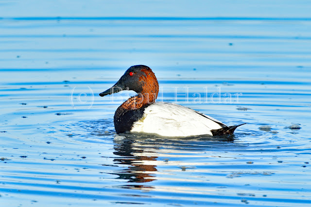 Canvasback Duck,