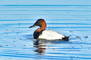 Canvasback Duck,