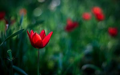 red tulip,tulip flower,bahagia dalam kehidupan,cara mencapai bahagia,nasihat ayah kepada anak,7 perkara penting dalam hidup,hidup yang sempurna,jakim malaysia,hab halal jakim