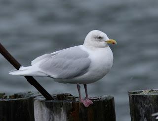 Kumlien's Gull- white wings