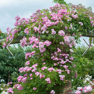 hoa hồng leo ngoại