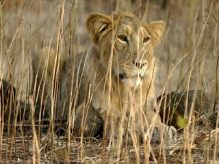 """Asiatic Lion Conservation Project"" Launched by Government"