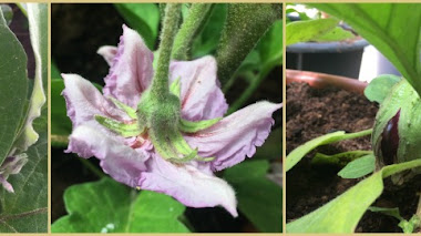 La flor de la berenjena (Solanum melongena)