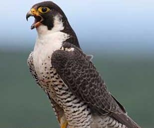 suara burung alap alap