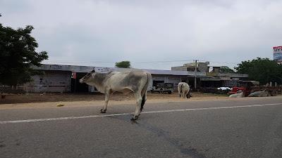 mucche in strada