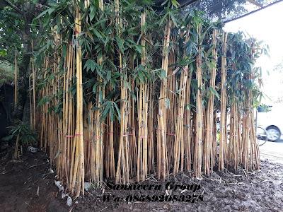 Jual Bambu Panda Kuning