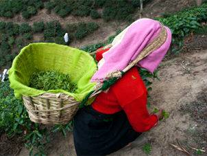 Women plucking darjeeling tea