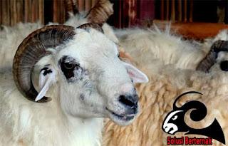 Cara Menjaga Kesehatan Pada Domba