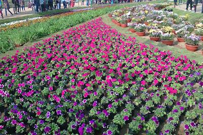 Petunia in ahmedabad