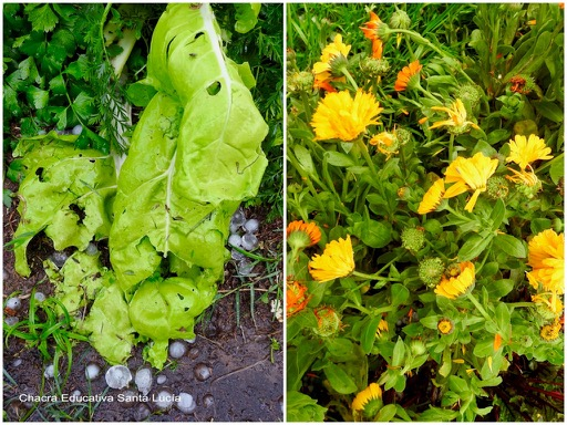 Hortalizas y flores de la huerta afectadas por la granizada - Chacra Educativa Santa Lucía
