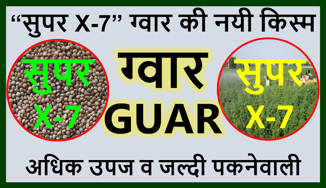 "ग्वार की ज्यादा उपज देने वाली नयी संसोधित किस्म ""सुपर X-7""   Guar, guar gum, guar price, guar gum price, guar demand, guar gum demand, guar seed production, guar seed stock, guar seed consumption, guar gum cultivation, guar gum cultivation in india, Guar gum farming, guar gum export from india , guar seed export, guar gum export, guar gum farming, guar gum cultivation consultancy, today guar price, today guar gum price, ग्वार, ग्वार गम, ग्वार मांग, ग्वार गम निर्यात 2018-2019, ग्वार गम निर्यात -2019, ग्वार उत्पादन, ग्वार कीमत, ग्वार गम मांग, Guar Gum, Guar seed, guar , guar gum, guar gum export from india, guar gum export to USA, guar demand USA, guar future price, guar future demand, guar production 2019, guar gum demand 2019"