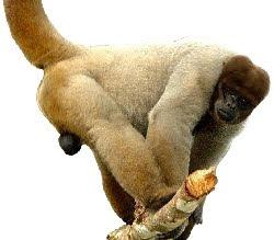 Macaco Barrigudo (Lagothrix lagotricha)