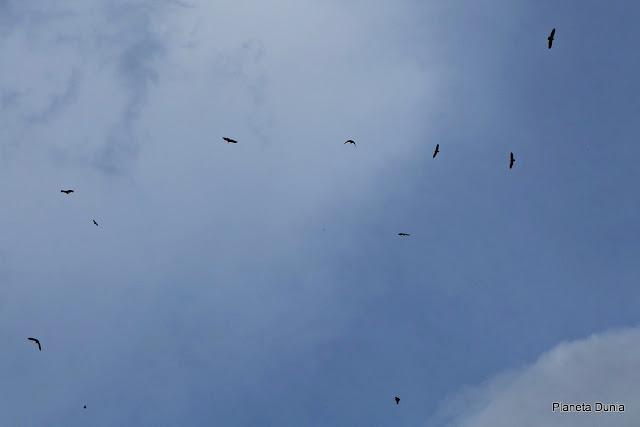 Colonia de buitres volando