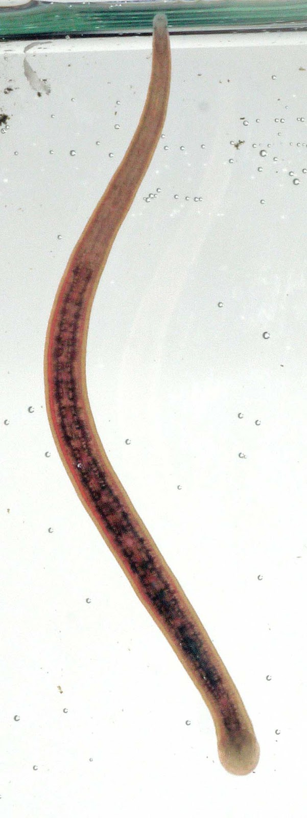 Leeches In Water