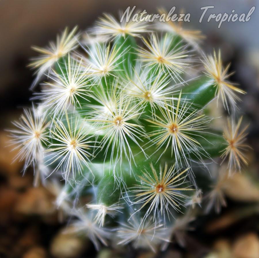 Aspecto globoso del cactus Mammillaria schiedeana