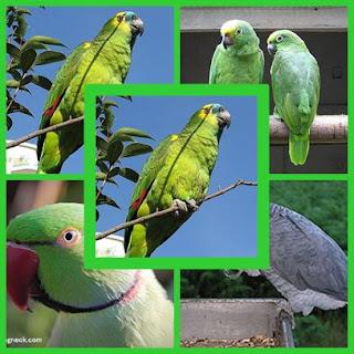 jenis burung peniru suara manusia