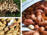 Harus tahu!!! 5 Manfaat Kacang Tanah untuk Kesehatan