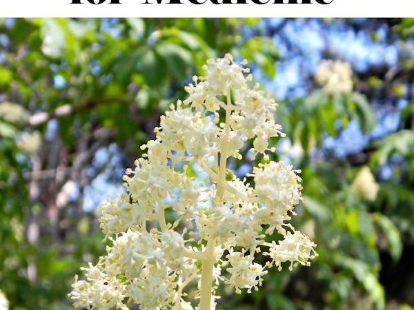 Harvesting & Drying Elderflowers for Medicine