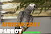 African gray parrot: lifespan, features, and other information