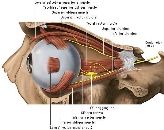 Eyelid Wikipedia